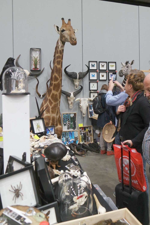 opgezette giraffe Verzamelaarsjaarbeurs 2017